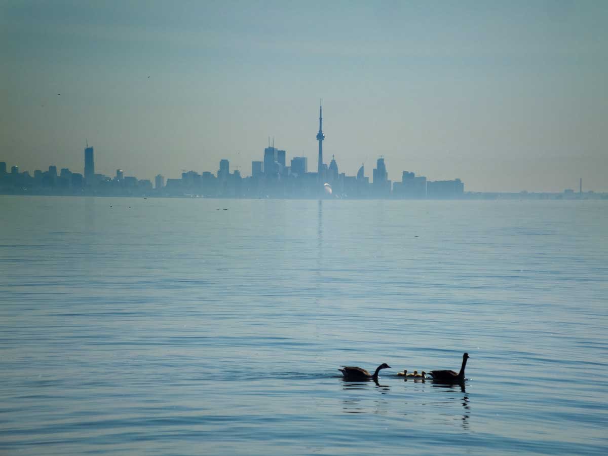Geese, CN Tower in back