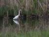 Crane wading in lush grasses