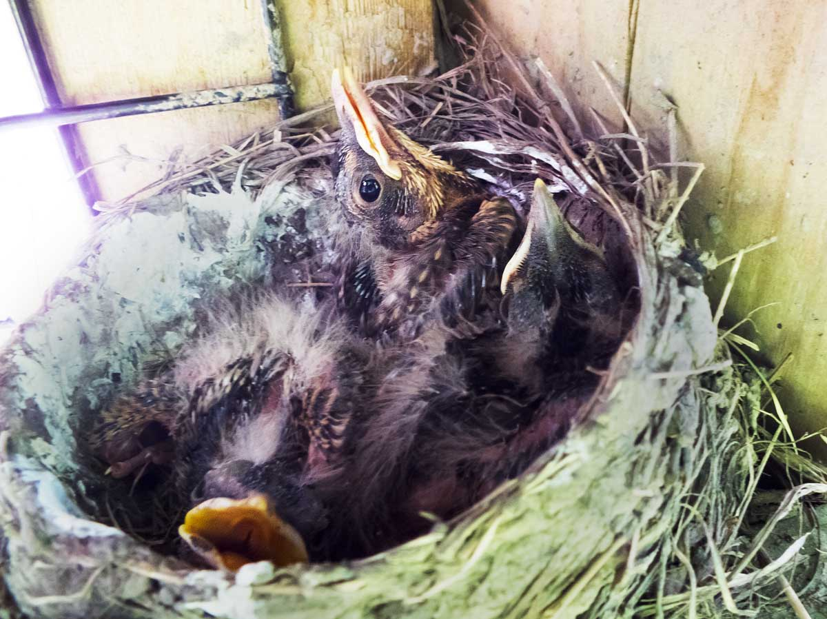 Nestlings 2014