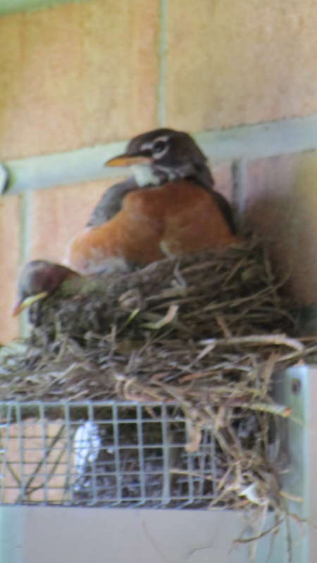 Papa Robin on nest