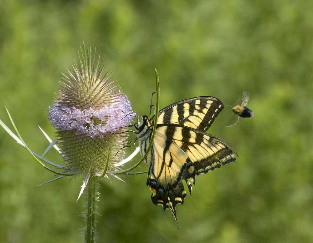 Papillon, bourdon, cardère
