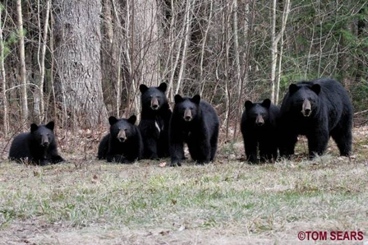 Rare Bear Quintruplets2