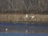 geese in flight over water