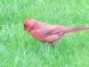 Male cardinal hunting for food
