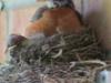 Papa Robin on nest